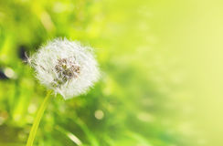 White dandelion on a green background with bokeh, banner for web Royalty Free Stock Photo