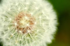 White dandelion on green background Royalty Free Stock Photos