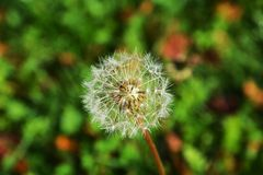 White  dandelion on green blurred background Royalty Free Stock Photo