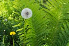 White dandelion and green fern.  wild flower. Royalty Free Stock Photo