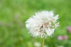 White dandelion in a green field royalty free stock photo