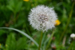 White dandelion on the green grass.  Royalty Free Stock Photography
