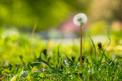 White dandelion on green grass blur background. White dandelion yellow one on green grass blur background in park Royalty Free Stock Photo