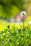 White dandelion on green grass blur background. White dandelion yellow one on green grass blur background in park Stock Photography