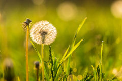 White dandelion on green grass blur background Stock Photos
