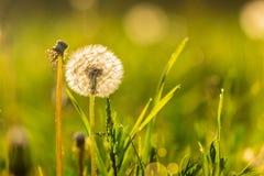 White dandelion on green grass blur background. White dandelion yellow one on green grass blur background in park Stock Photos