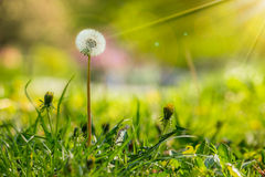 White dandelion on green grass blur background. White dandelion yellow one on green grass blur background in park in sunlight Stock Photography