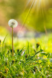 White dandelion on green grass blur background. White dandelion yellow one on green grass blur background in park in sunlight Stock Images