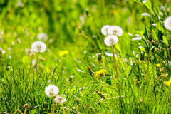 White dandelion on green grass blurry background. In park Stock Images