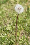 White dandelion with green grass royalty free stock images