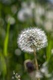 White dandelion in green grass. Royalty Free Stock Photo