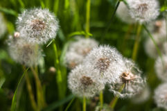 White dandelion in green grass. Stock Images