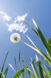 White dandelion in green grass under blue sky with clouds Stock Photos