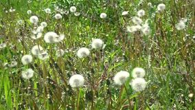 White dandelion on green. White dandelion head blowball with flying seeds on green grass field background stock footage