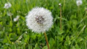 White dandelion on green meadow Stock Photo