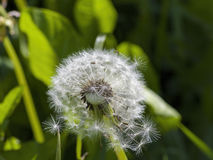 White dandelion on a green stalk Royalty Free Stock Photography