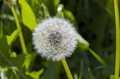 White dandelion on a green stalk Royalty Free Stock Images