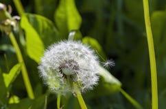 White dandelion on a green stalk Stock Images