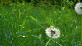 A white dandelion the down is blown off it. A white dandelion grows against a background of green grass and the down is blown off it stock video