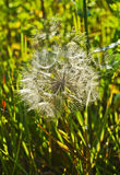 White dandelion grows in a  grass Stock Photography