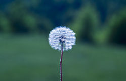 White dandelion grows on green field a muddy background Stock Photos