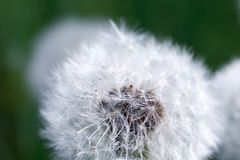 White dandelion hat close up sunny day stock images