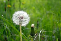 White dandelion hat close up and unopened dandelion bud in sunny day stock photography
