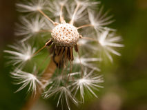 A white dandelion head close up broken bits missing flown off wi royalty free stock image