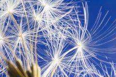 White dandelion head on vibrant blue sky Royalty Free Stock Photography