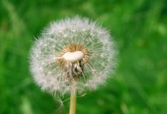 White dandelion with heart royalty free stock images