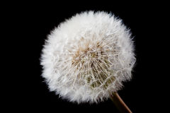 White dandelion isolated on black Stock Photo