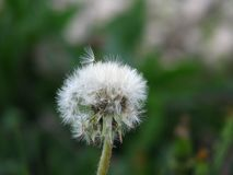 White dandelion with leaving his umbrella stock photography