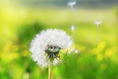 White Dandelion in the meadow Royalty Free Stock Photo