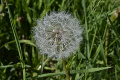 White dandelion in the midst of green meadows Royalty Free Stock Photo