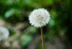 White dandelion. One single white dandelion  on a blurry background Stock Photography