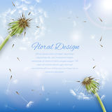 White dandelion with pollens background Royalty Free Stock Images