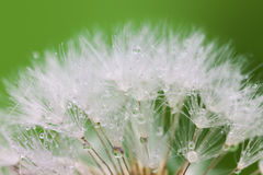 White Dandelion seed with water drops on green Stock Images