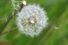White dandelion. Seeded white dandelion head on green Stock Photography