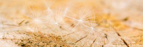White dandelion seeds on wooden background. Many small white dandelion seeds on wooden background Stock Photos