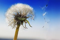White Dandelion in the sky Royalty Free Stock Photography