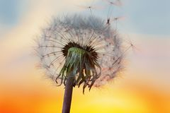 White Dandelion in the sky with the sun Stock Image