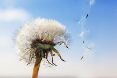White Dandelion in the sky Stock Images