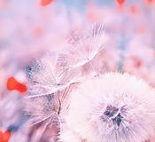White dandelion. Soft fluffy white dandelion fluff and small Fuzzies,  gentle blue background. Very soft selective focus. Pastel shades Stock Photos