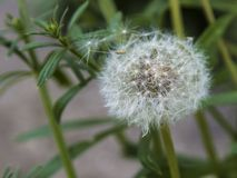 A white dandelion spreading its seeds. In the wind Stock Photo