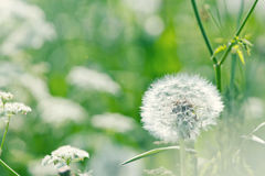 White dandelion in a sunny flower meadow. Springtime white dandelion in a sunny green wild carrot flower meadow (Queen Annes lace) with shallow focus Royalty Free Stock Photos
