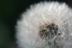 White Dandelion (Taraxacum Officinale) Flower Close-Up Royalty Free Stock Photos