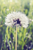 White dandelion, tinted. White dandelion growing on the field Royalty Free Stock Images