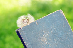 White dandelion and vintage book Stock Photo