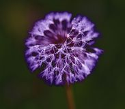 Dandelion with waterdrops. One dandelion with waterdrops on black background stock images