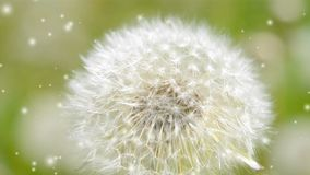 White dandelion in the wind close-up on green blurred background,. White dandelion in the wind close-up on green blurred background with many soft flying white stock video footage